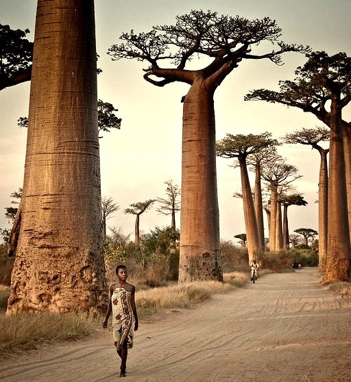 """Avenue of the Baobabs, Madagascar .]]>"""" id=""""IMAGE-m7lm39eK2y1r6b8aao1_1280″/></a></p><p>Avenue of the Baobabs, Madagascar .]]><br/>#people, #indian ocean, #landscape, #Afrique, #africa</p></div><footer class=entry-meta> <span class=cat-links><span class="""