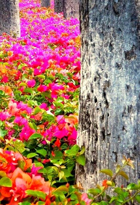 Bougainvillea Forest, Maui, Hawaii